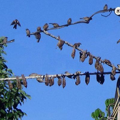 Keo bẫy chim công nghiệp