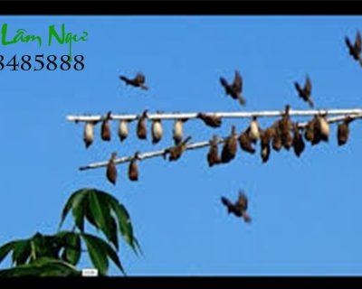 Loa bẫy chim âm chuẩn