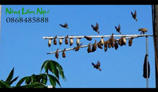 keo bẫy chim hiệu quả